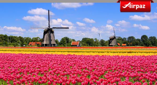 netherland tullips
