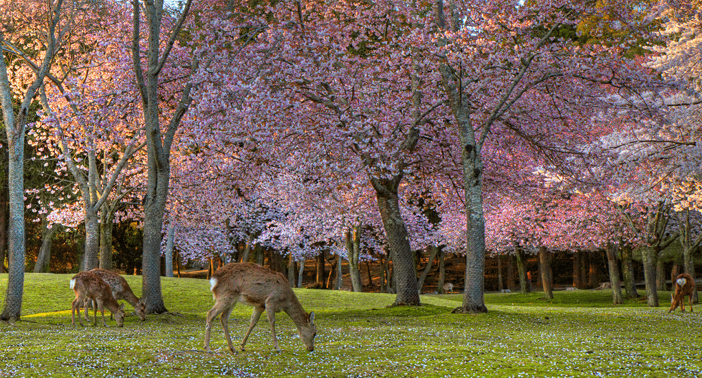 Bunga Sakura - Nara