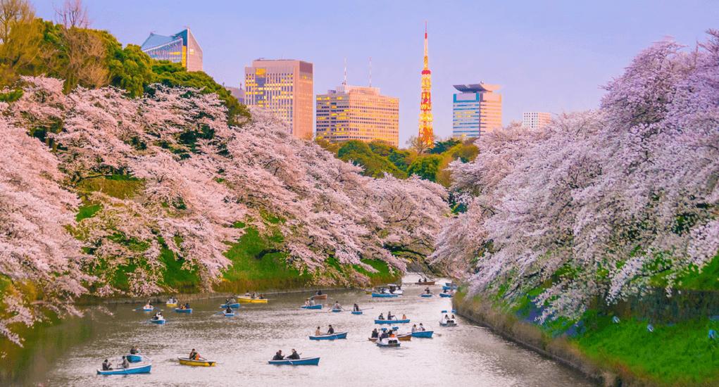 Bunga Sakura - Tokyo