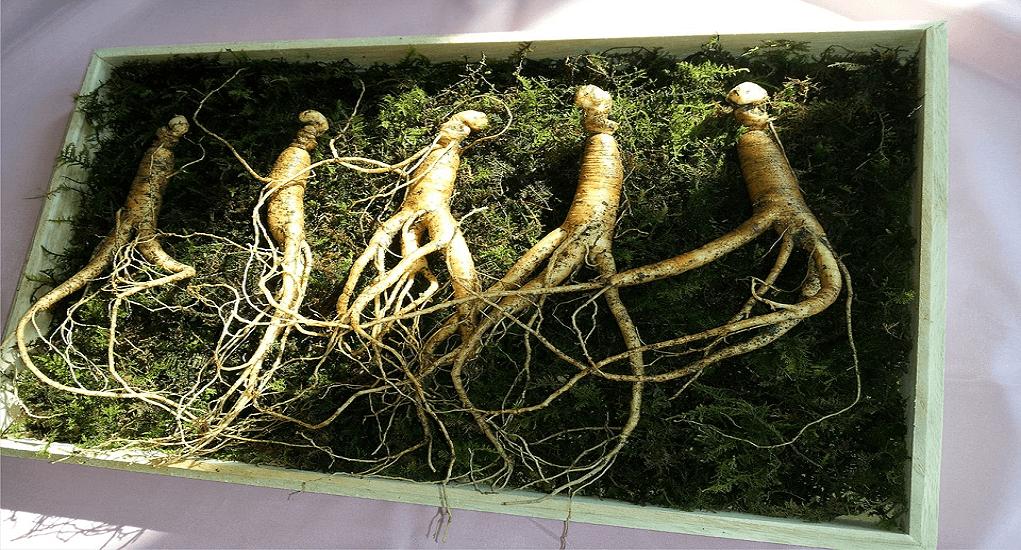Busan - Ginseng