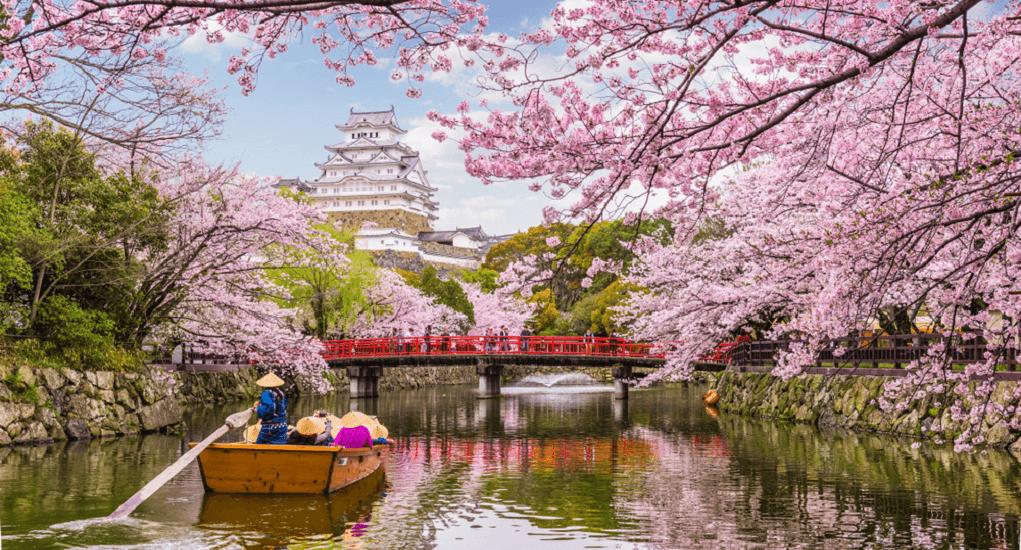 Cherry Blossom - Aomori