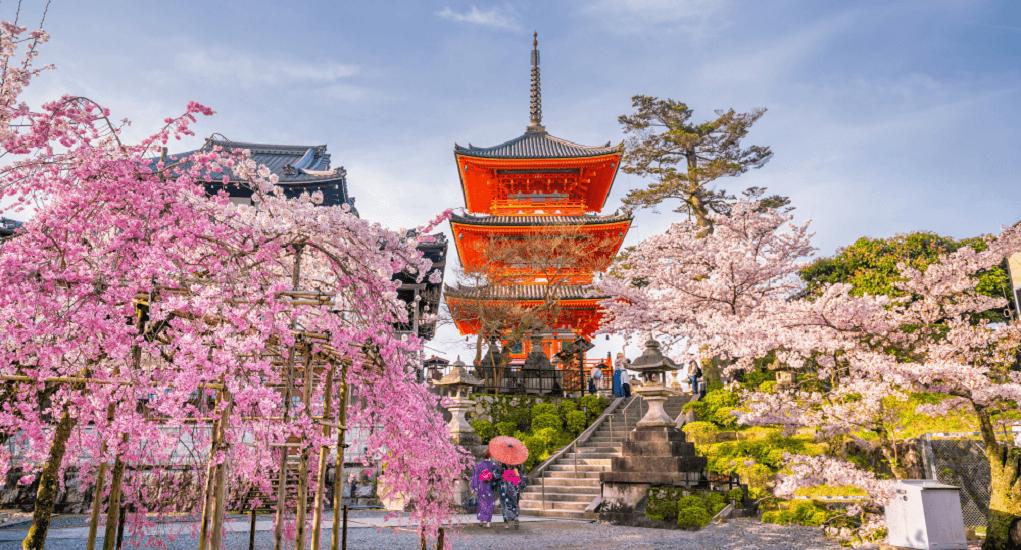 Cherry Blossom - Kyoto