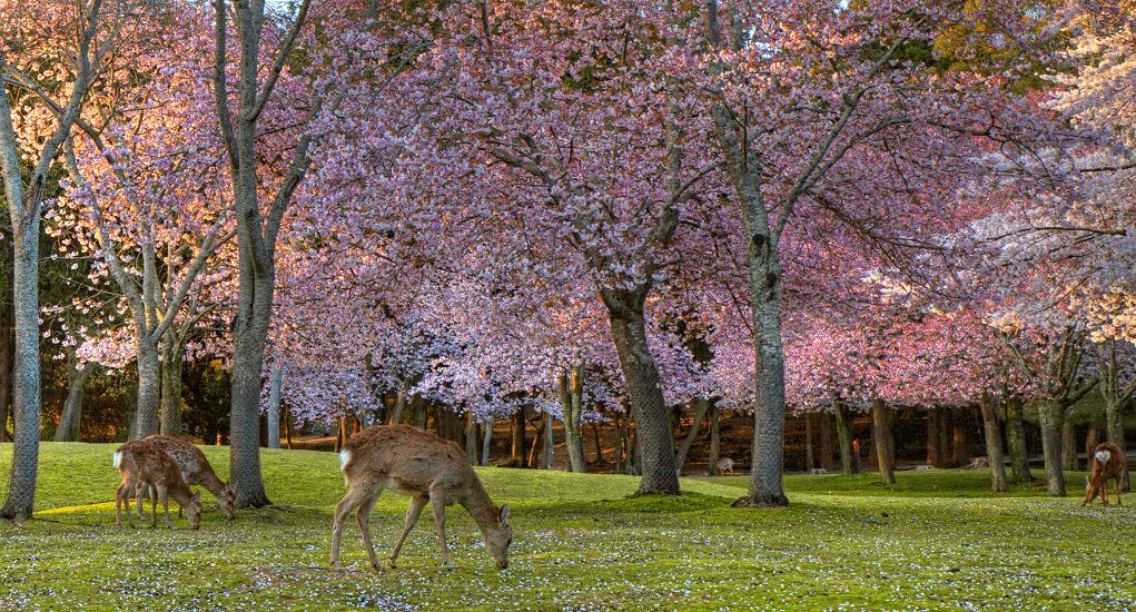 Cherry Blossom - Nara