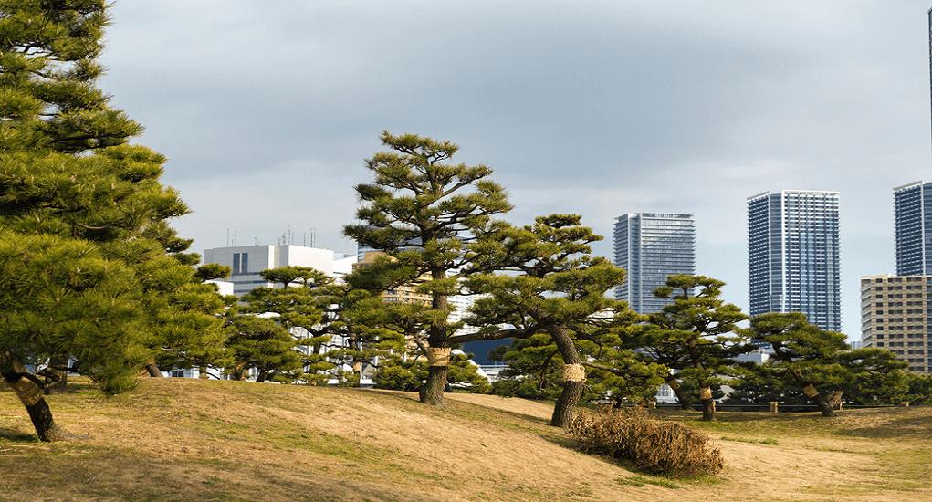 Hamarikyu Park - 300-year pine