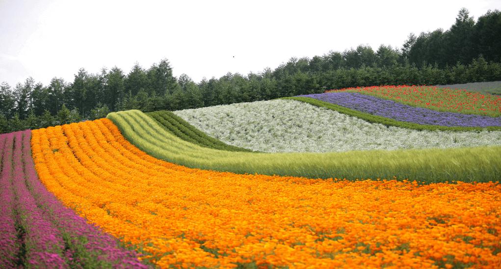 Hokkaido - Furano Lavender Fields