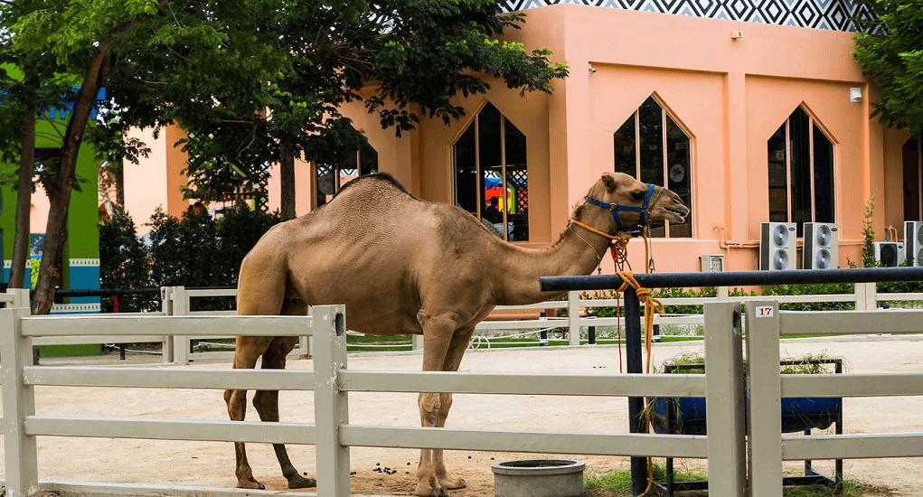 Hua Hin - Camel Republic