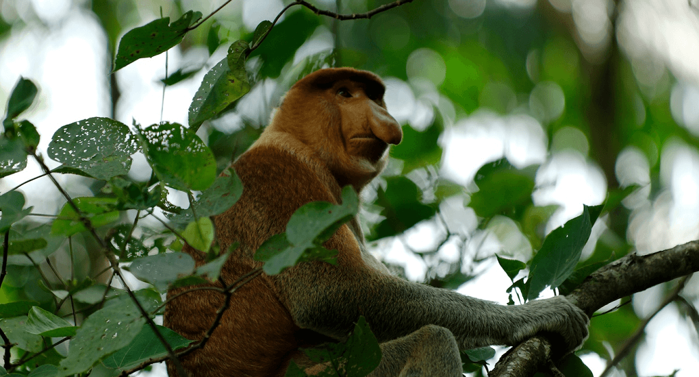 Proboscis Monkey Safari