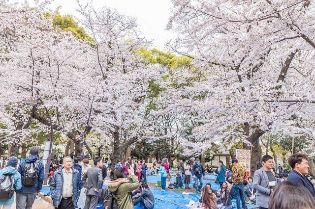 enjoying the beauty of sakura flowers