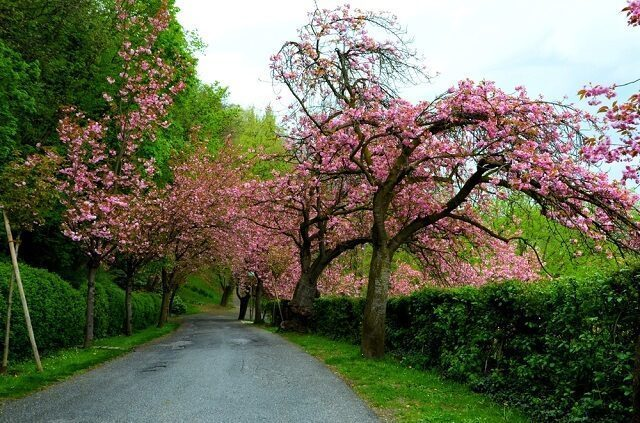 cherry blossom trees in taiwan
