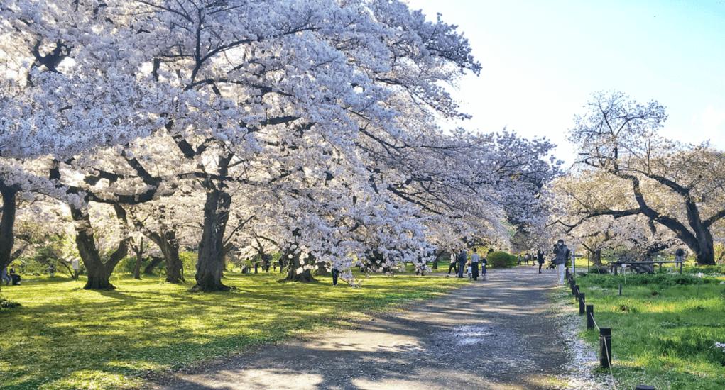 cherry blossom in Tokyo - Koishikawa Botanical Garden