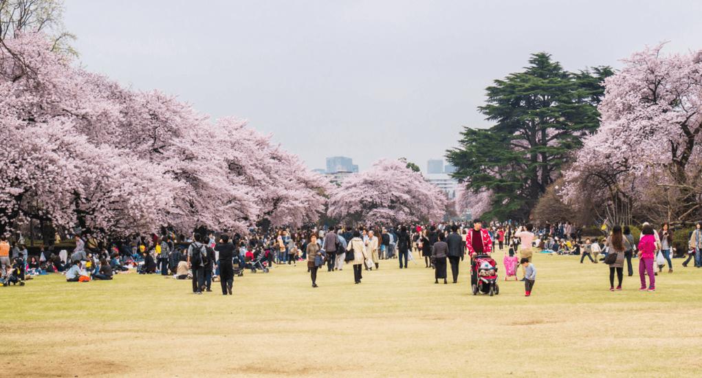 cherry blossom in Tokyo - Shinjuku Gyoen