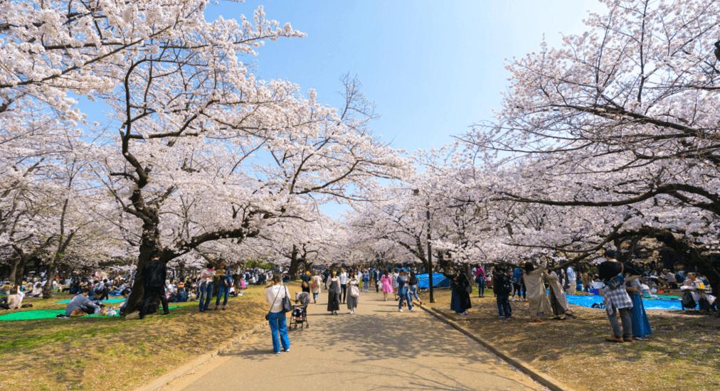 cherry blossom in Tokyo - Yoyogi Park