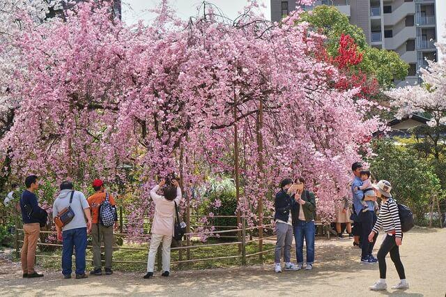 cherry blossom in hiroshima