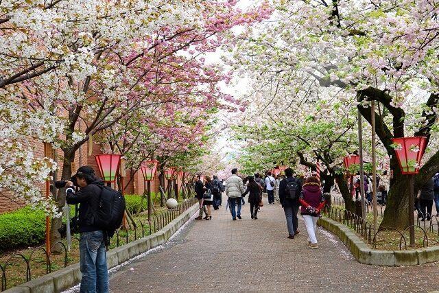 sakura hanami festival in osaka