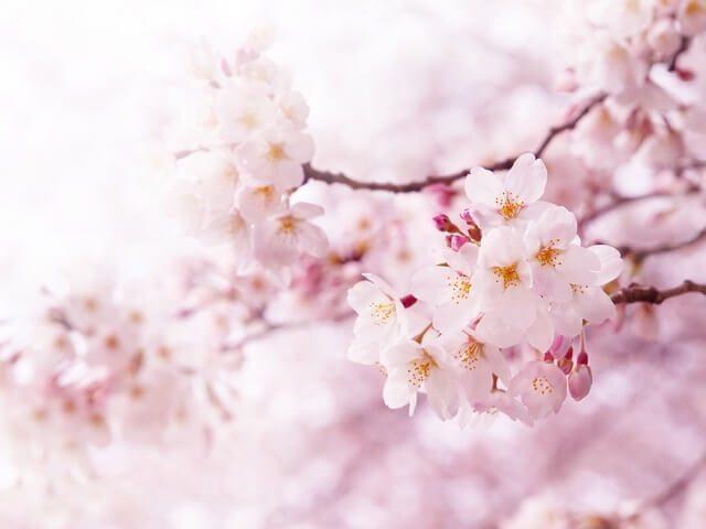 jadwal bunga sakura mekar