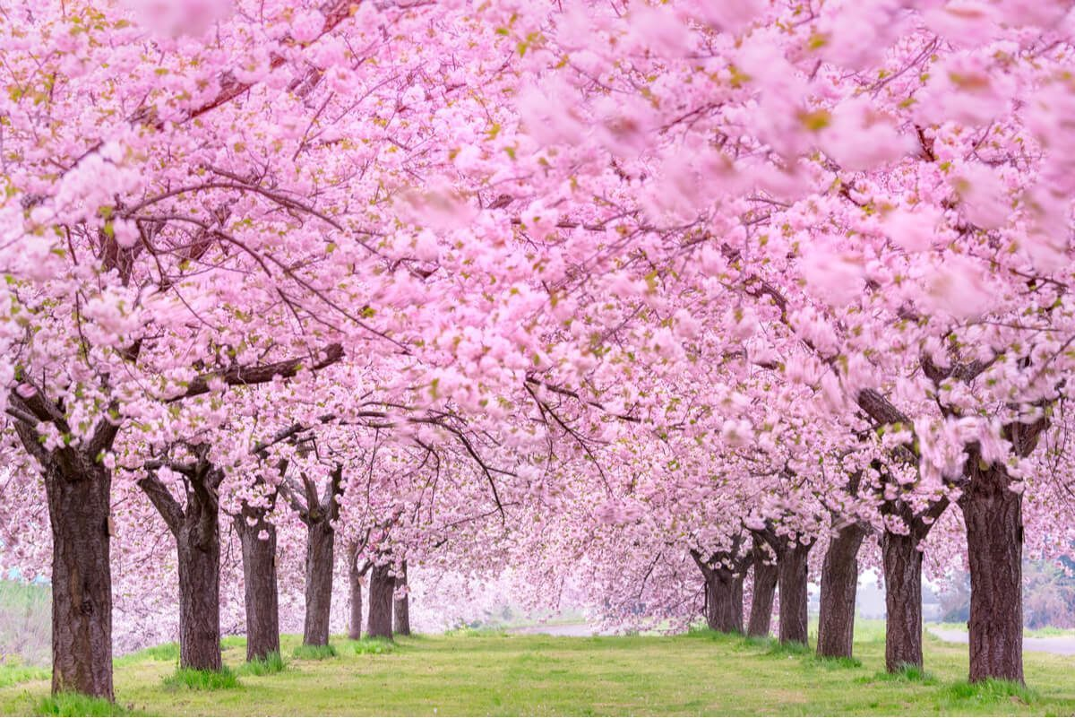 meaning of sakura flowers in japan