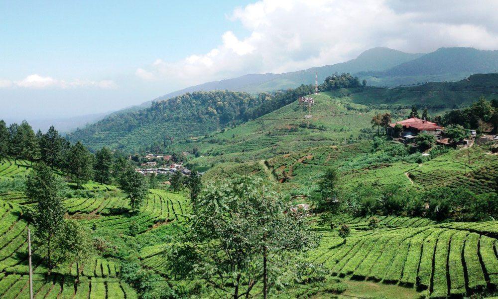 perkebunan teh gunung mas
