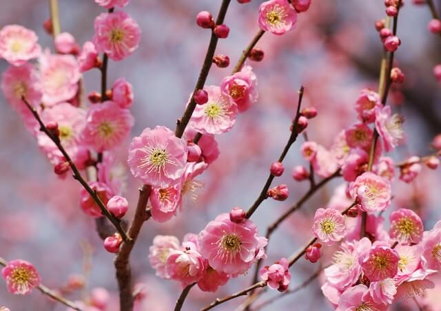 schedule with the best sakura watching experience
