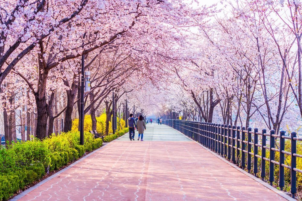 sakura flowers in south korea