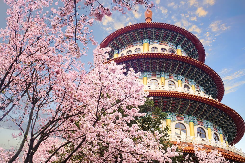 sakura flowers in taiwan