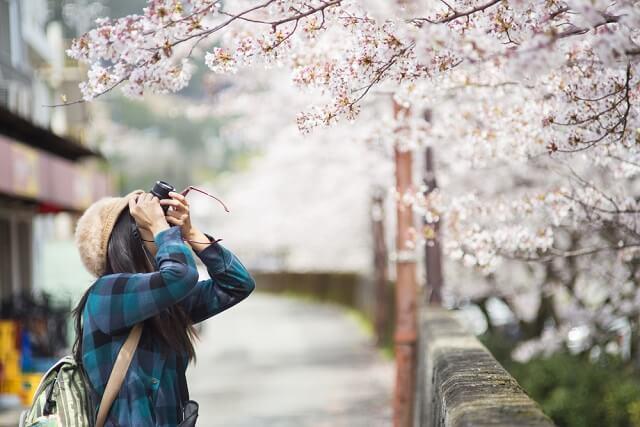tempat melihat bunga sakura di jepang