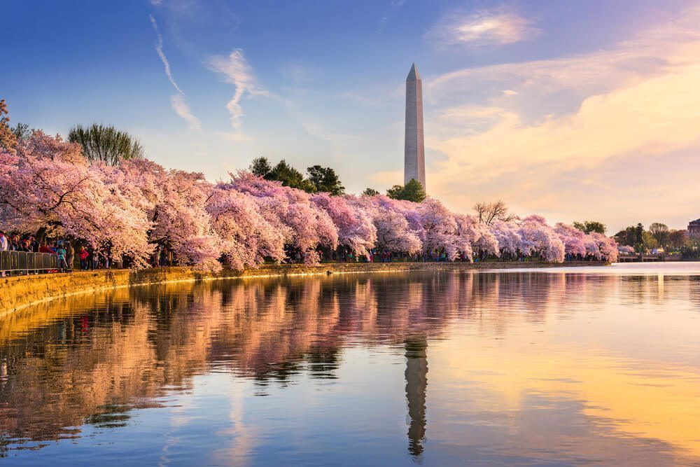 sakura flowers in united states